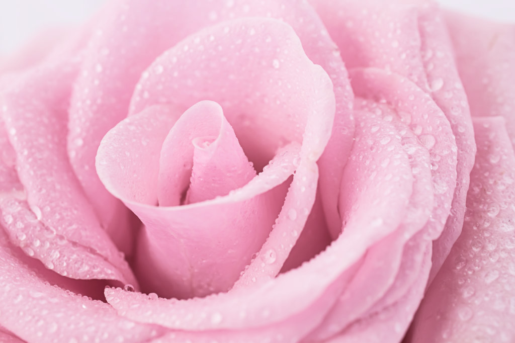 Photo Challenge: Pure - Pink Rose close-up